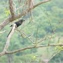 Black bird with large peak