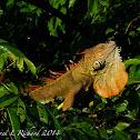 Green iguana (breeding males)
