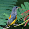 Orange bellied Flowerpecker - Male