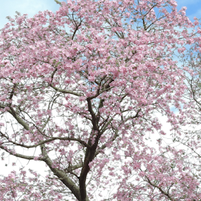 by Marcello Toldi - Flowers Tree Blossoms