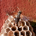 Paper wasp species