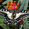 Anise Swallowtail Butterfly