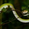 Wagler Pit Viper