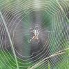 Garden/Banana Spider