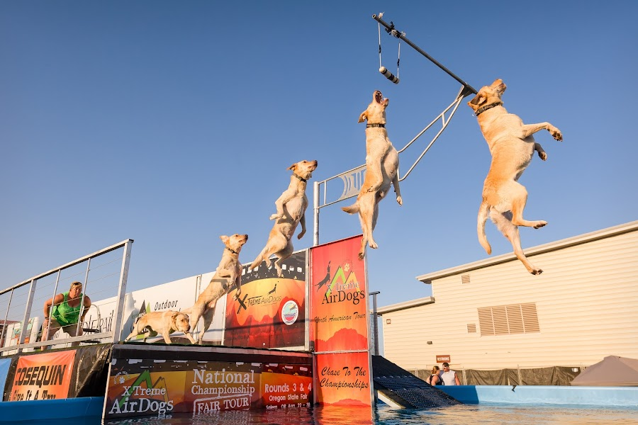 Dog Gone It! by Kevin Brown - Animals - Dogs Playing ( oregon, dogs, air dog, salem, oregon state fair )