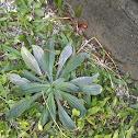 Narrow Leaf Plantain