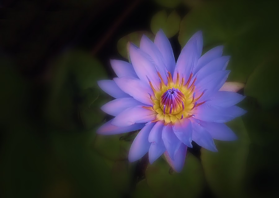 Hybrid Water Lily by Liz Crono - Flowers Single Flower ( nature, blue, fine art, flowers, water lily )