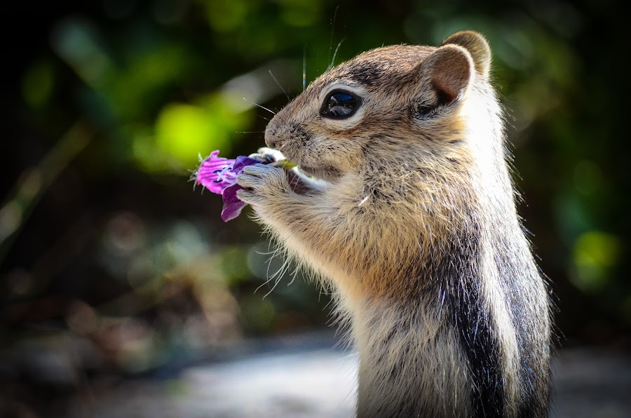 Golden-Manteled Squirrel by Rick W - Animals Other Mammals ( rodent, cute, squirrel, flower,  )