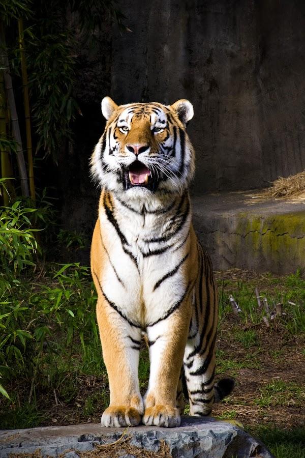 Tony the Tiger by Gabe Rodriguez - Animals Lions, Tigers & Big Cats ( big cat, cat, zoo, tiger, stripes,  )