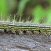 Yellow-necked caterpillar