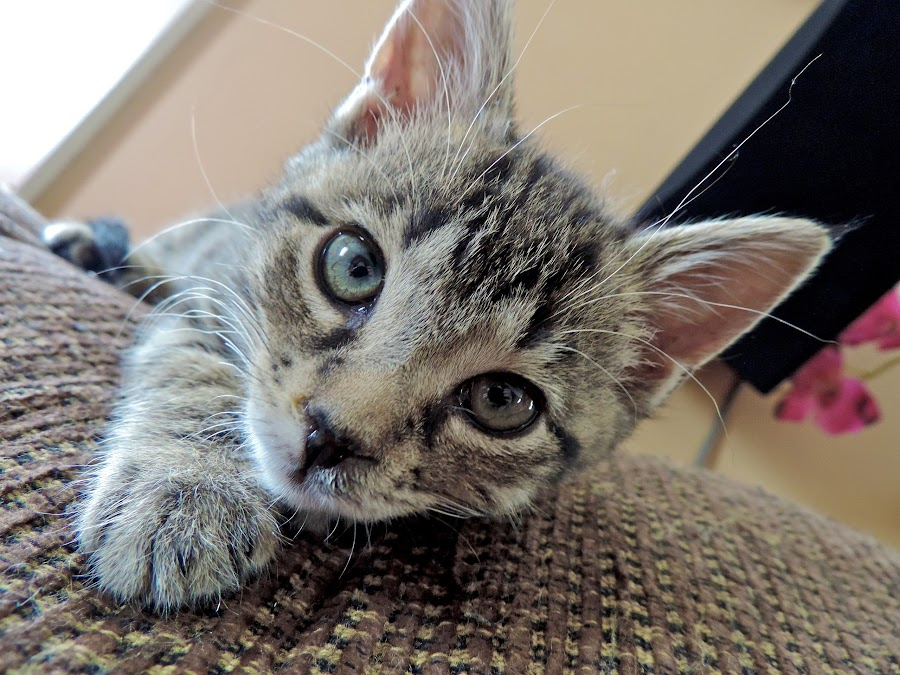 Curious by Catherine Trudeau - Animals - Cats Kittens ( cat, kitten )