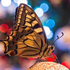 Christmas Machaon by Massimiliano Giuliani - Animals Insects & Spiders