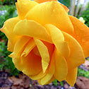'Sunstruck' Rose