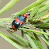 Red and blue pollen beetle