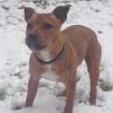 Domestic Dog -  Staffordshire Bull Terrier