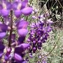 Silver bush lupine