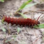 Pipevine swallowtail (larva)