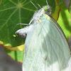 Green-eyed White (Leptophobia aripa)