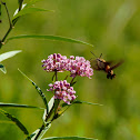 Hummingbird Moth and Swamp Milkweed