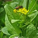 Western honey bee, European honey bee