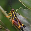 Yellow Striped Grasshopper