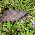 Red-cheeked Mud Turtle x Common Musk Turtle