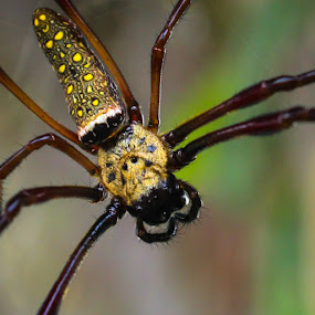 Farms Spider by Muhammad Syuhada - Animals Insects & Spiders