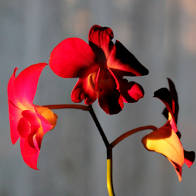 Afternoon Sun orchid by Ruby Stephens - Flowers Single Flower ( orange, red, orchid, yellow, gold, tropical flowers )
