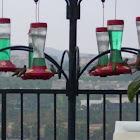 Hummingbirds (assorted)