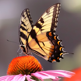 Busy as a Butterfly by Sue Delia - Animals Insects & Spiders ( butterfly, yellow butteryfly,  )
