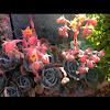 Echeveria Runyoni Succulent