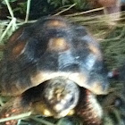 Red footed turtle