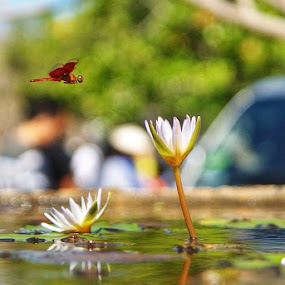 Dragonfly and flower by Nilwan Humendru - Animals Insects & Spiders ( #insect #flower #reflection )