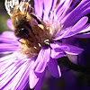 Aster / Honey Bee