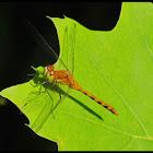 Dragonfly- Ruby Meadowhawk
