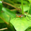 Sword-tailed cricket