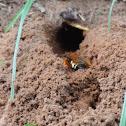 Cicada Killer burrow