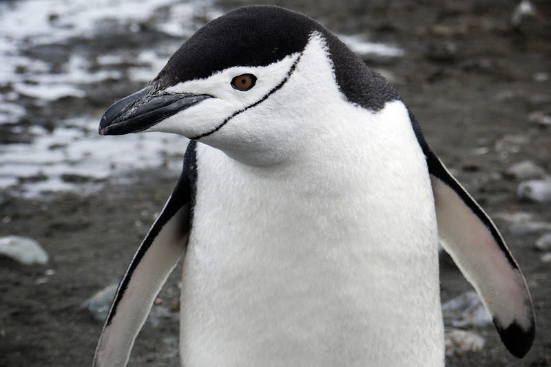 A chinstrap penguin in Antarctica, photographed during a G Adventures expedition.