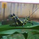 Panamanian Parrot-Grasshopper