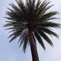 Date Palm?