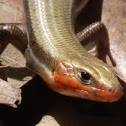 Five-Lined Skink (male)