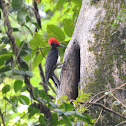 White bellied Woodpecker