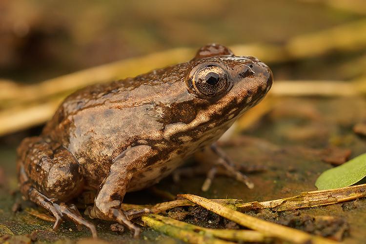 Green frog , juvenile