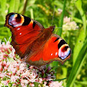 European peacock butterfly