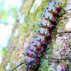 Southern Pink Striped Oakworm