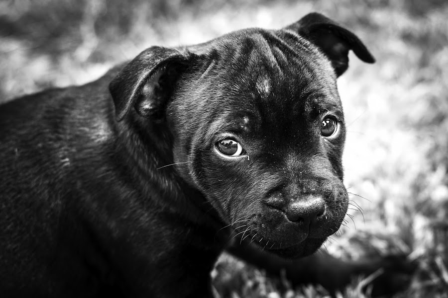 Jed 001 by Martyn Cook - Animals - Dogs Puppies ( puppies, dog's, black & white, portrait,  )