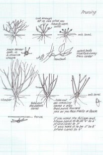 How To Prune Roses- screenshot thumbnail