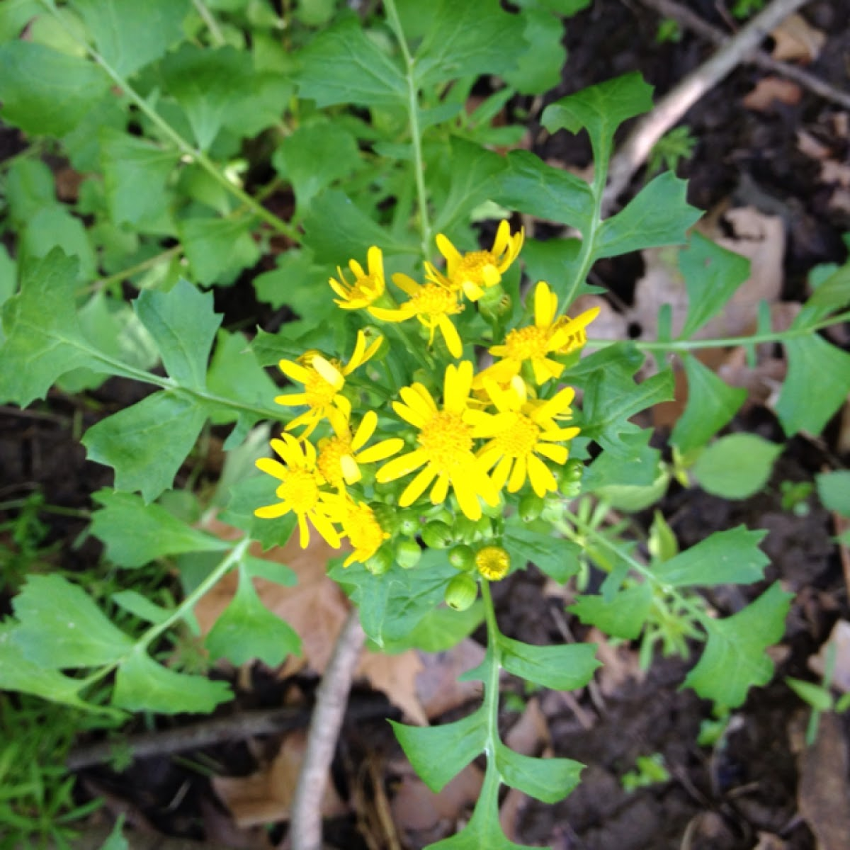 Yellowtop Butterweed