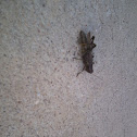 American Grasshoper