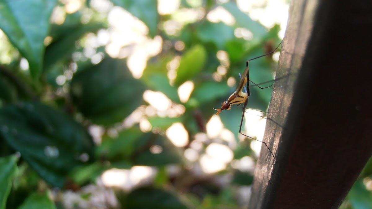Banana Stalk Fly
